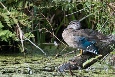 Female Wood Duck