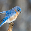 Bluebird on a stick
