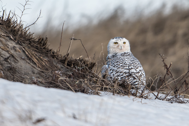 Snowy Owl in the dunes