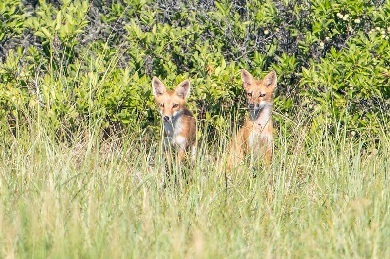 Two Fox Kit