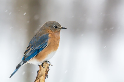 Male Bluebird in the snow
