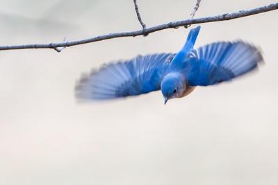 Bluebird Gliding