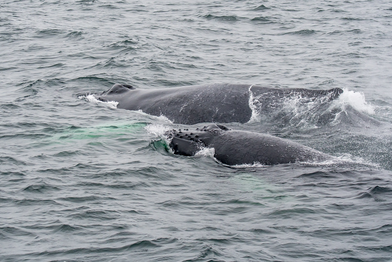 Mother whale (Dross) and calf