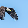 Bald Eagle leaving tree