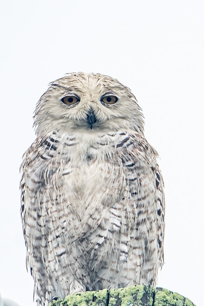 Snowy Owl in August