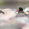 Oyster Catcher and chick