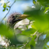 Green Heron chick