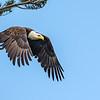 Bald Eagle leaving tree