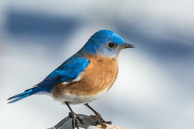 Back yard bluebird