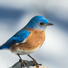 Back yard bluebird