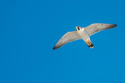 Peregrine Falcon in snow