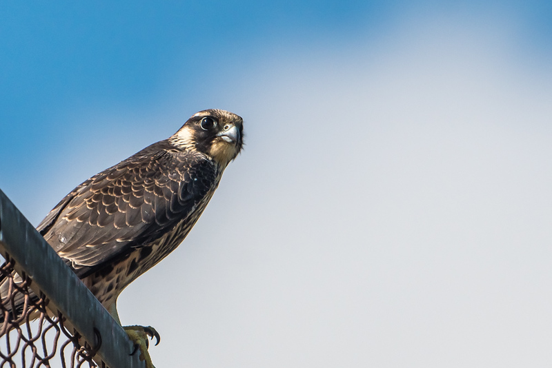 Peregrine perched