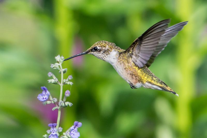 Ruby-throated Hummingbird