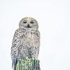 Snowy Owl in August