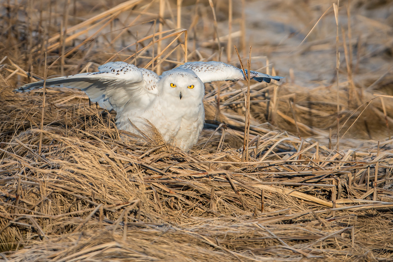 Snowy Owl in Marsh