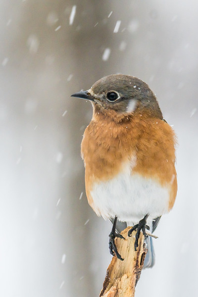 Female Bluebird in the snow