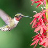 Male Ruby-throated at Cardinal flower