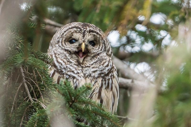 Barred Owl Yawning