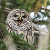 Barred Owl Yawning