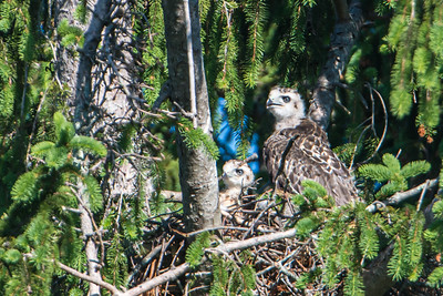 two red-tailed Hawk chicks