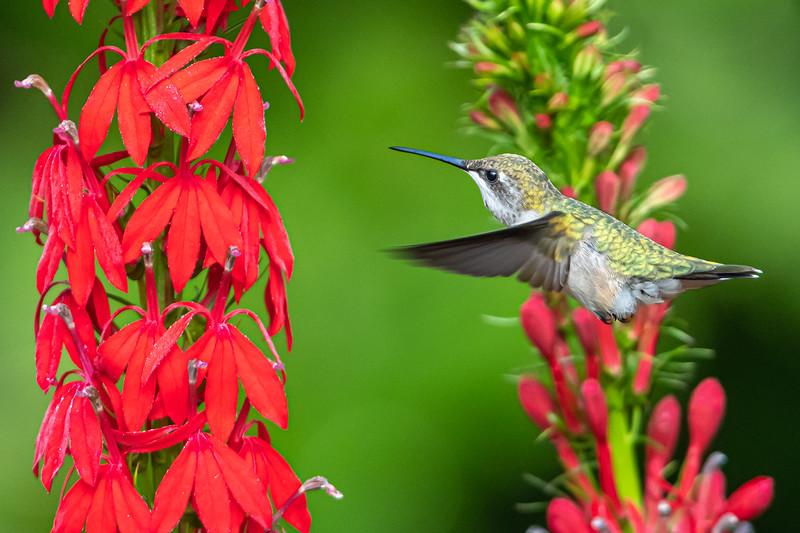 Hummingbird in cardinal flowers