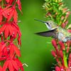 Hummingbird in cardinal flowers