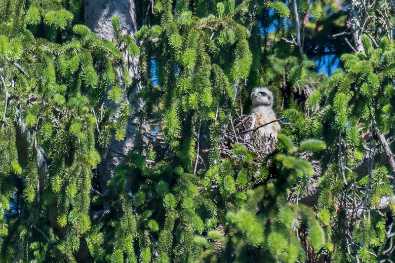 Red-tail hawk chick