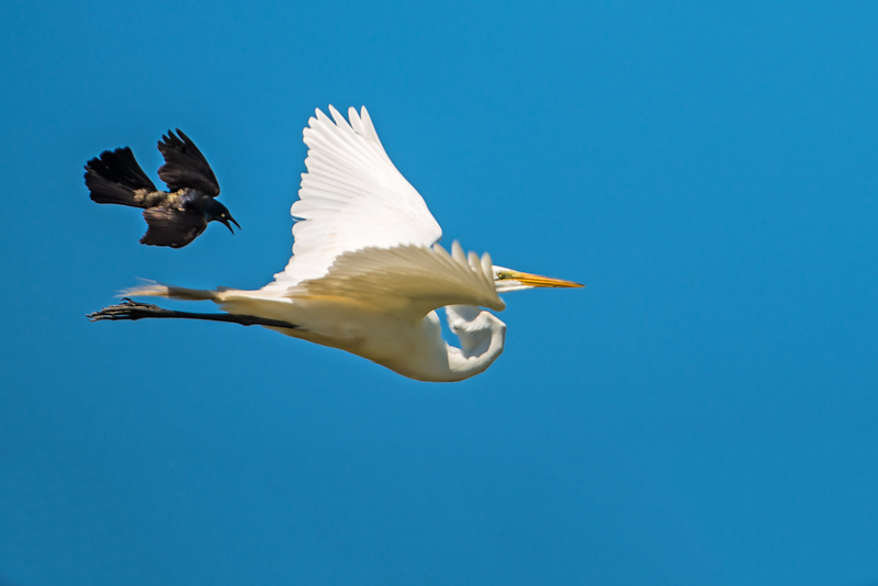Egret chased by grackle