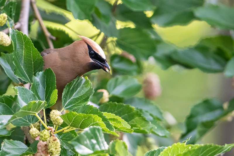 Cedar Waxwing in mulberry tree