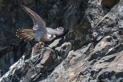 Peregrine take off