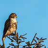 Red-tailed Hawk at sunrise