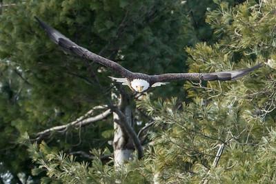 Bald Eagle incoming