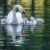 Mother swan and chicks