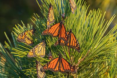 Kaleidoscope of Monarchs