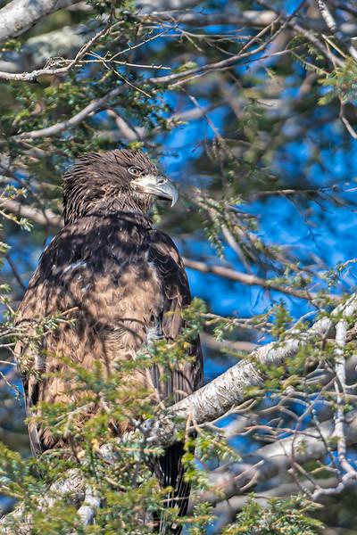 immature Eagle in tree
