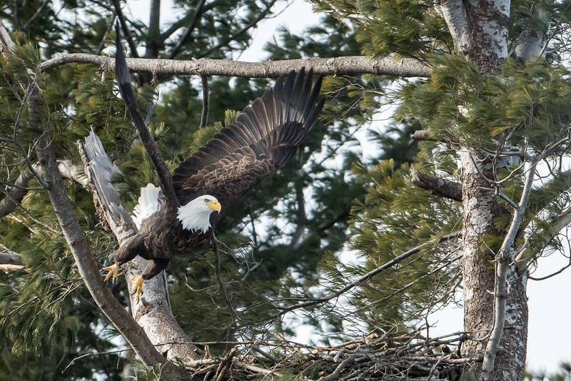 Bald Eagle Lift off