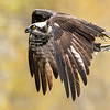 Osprey with two tails