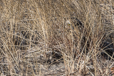 Short-eared Owl in the grass
