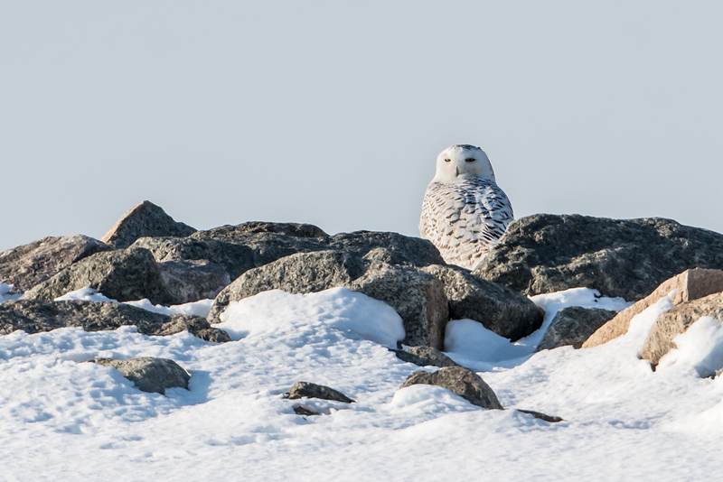 Snowy Owl on the Jetty