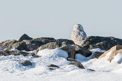 Snowy Owl on the Jetty