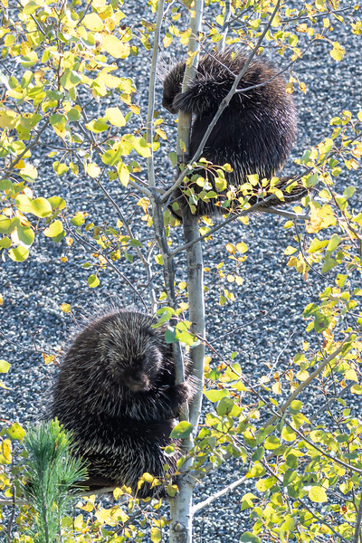 Two porcupine in a tree