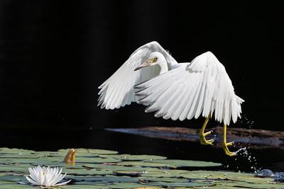Little blue Heron take off