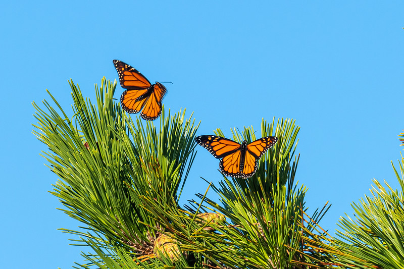 Monarchs at first light