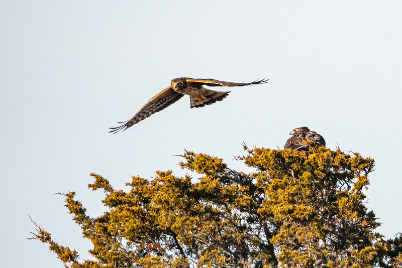 Harrier Hawk harrasing a red-tail