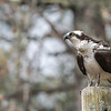 Osprey on a pole