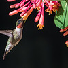 Ruby-throated Hummingbird at Honeysuckle