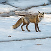 Fox on ice