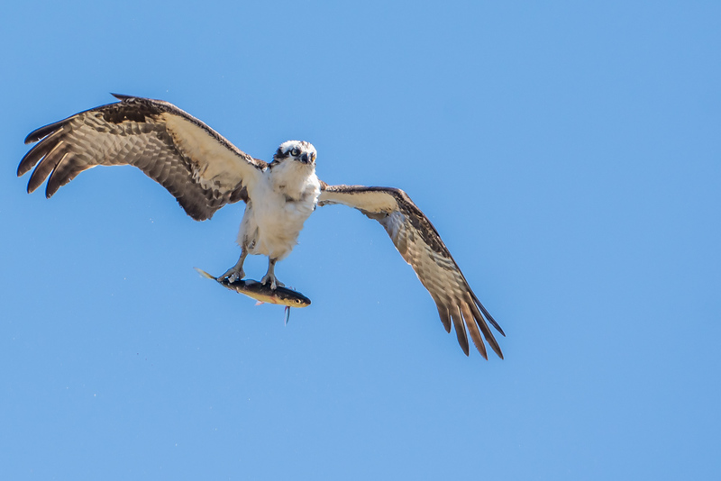 Osprey with fish doing the shimmy shake