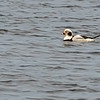 Long-tailed Duck,Male