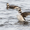 Long-tailed Duck, Female